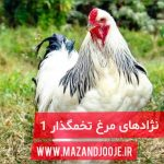 نژاد های مرغ تخم گذار