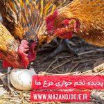 تخم خواری مرغ ها